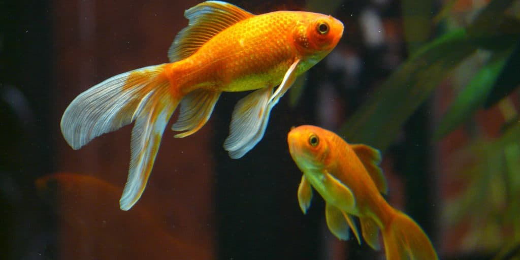 Do Goldfish Eat Each Other