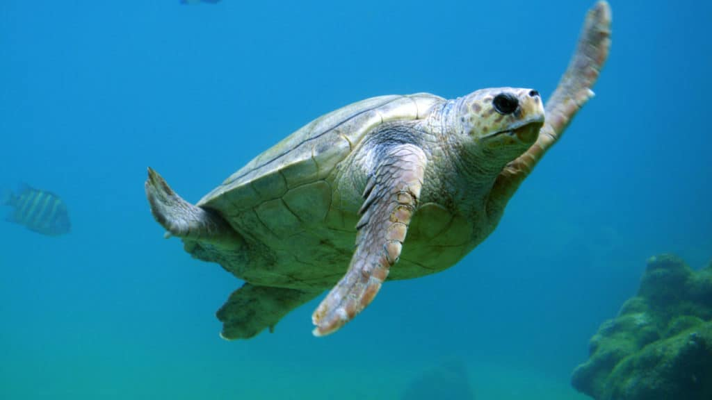 Image of a turtle swimming in water