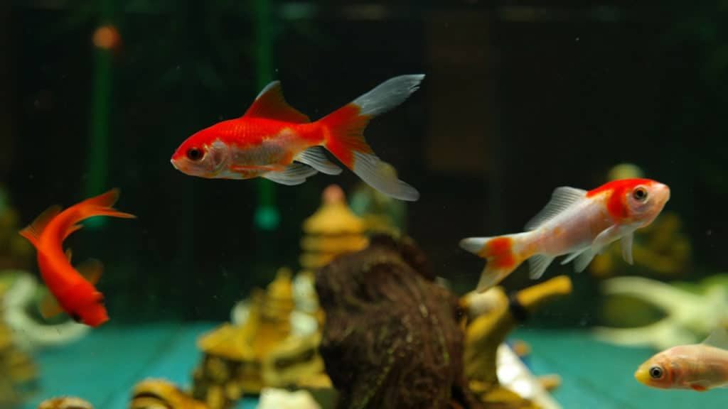 Image of goldfish getting ready to mate