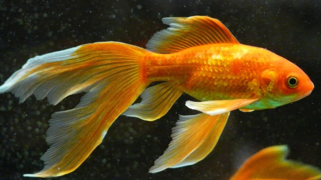 Image of a goldfish in a tank