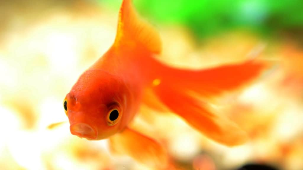 Image of a goldfish in cold water