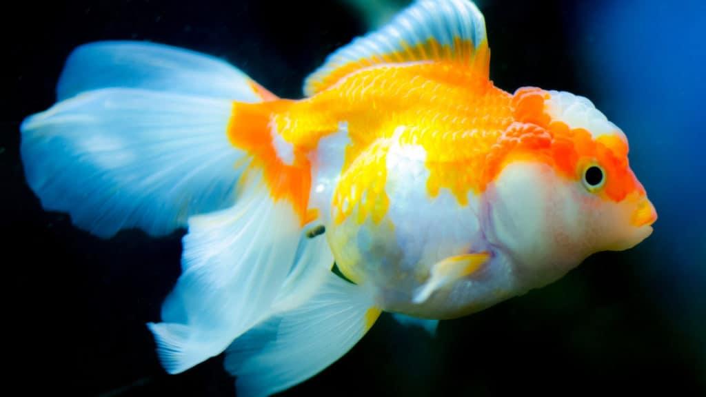 Image of a goldfish getting ready to eat algae