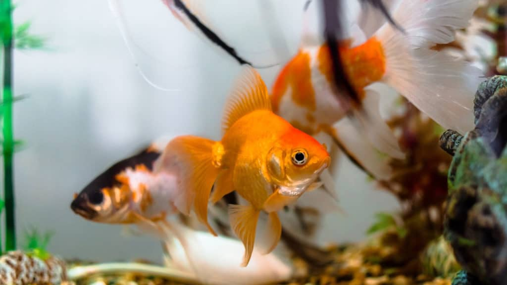 Image of goldfish swimming in a tank with a filter