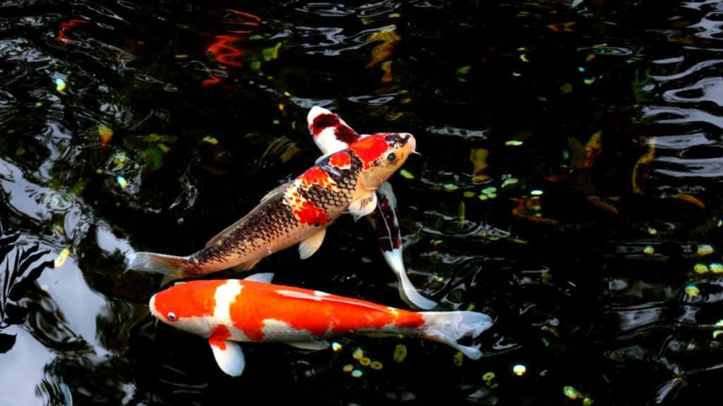 Image of goldfish swimming in mild current