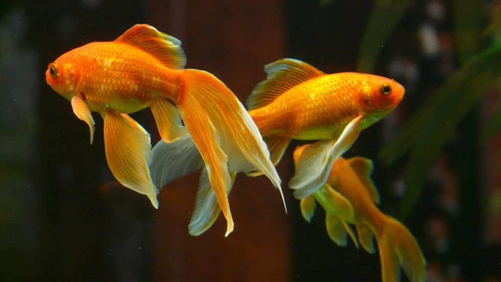 Image of a goldfish swimming in tank water