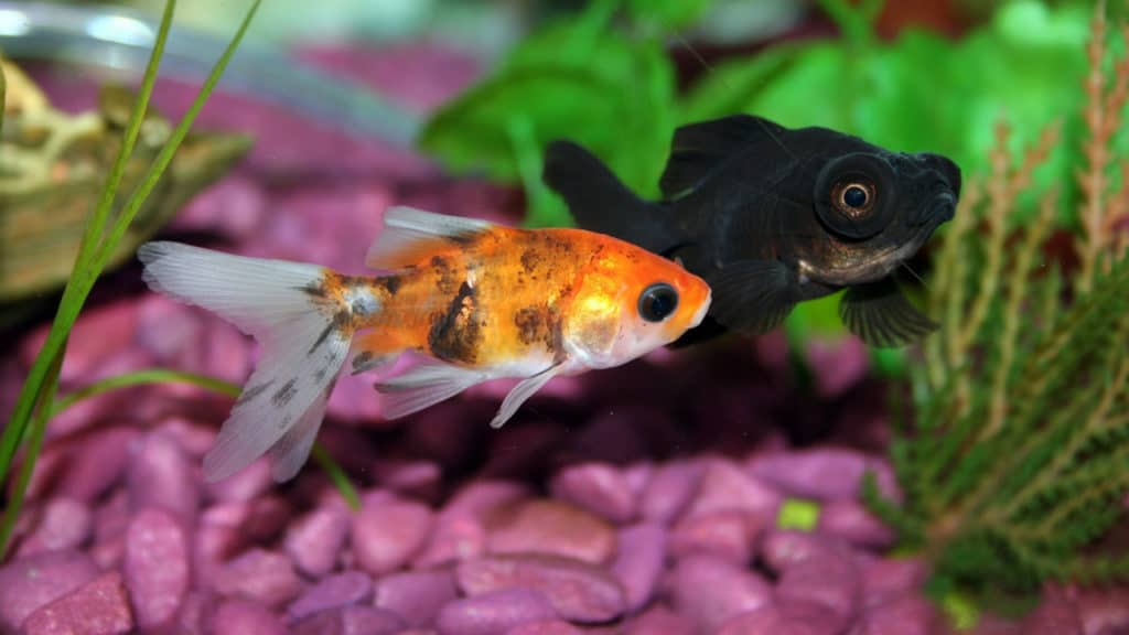 Image of goldfish ready to eat plants