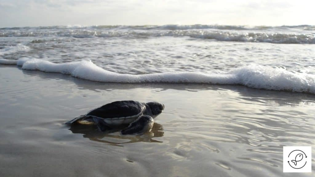 Image of a turtle about to lay eggs