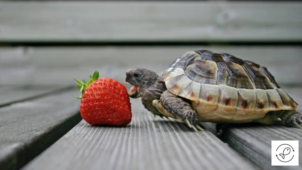 Image of a turtle trying to eat a strawberry without its teeth