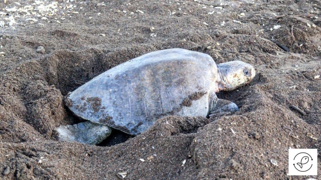Image of a turtle digging a hole
