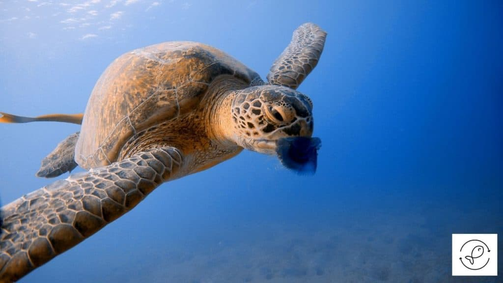 Image of a turtle eating a jellyfish