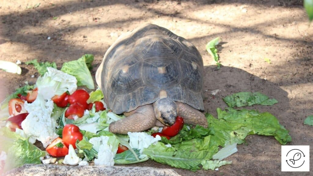 Image of a turtle eating vegetables