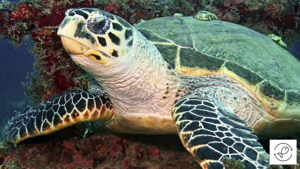 Image of a turtle with barnacles