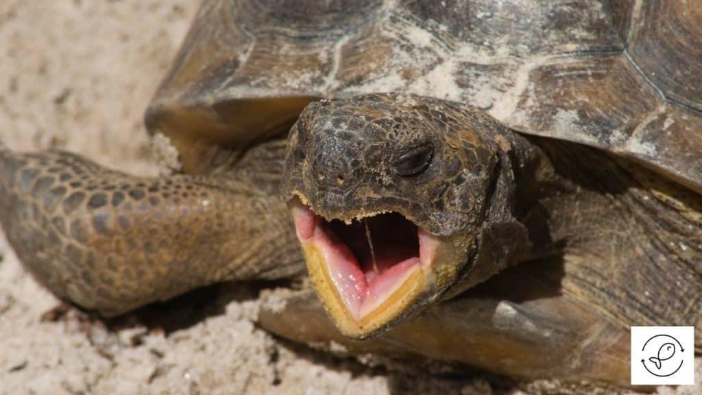 Image of a yawning turtle