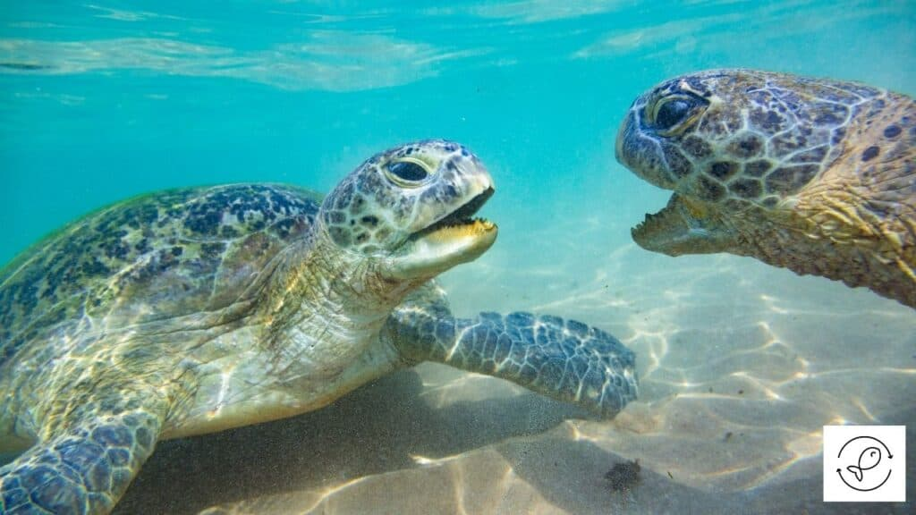 Image of turtles about to slap each other