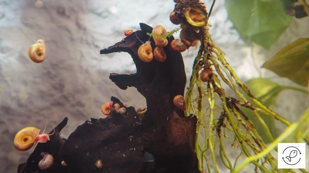Image of aquarium snails about to lay eggs