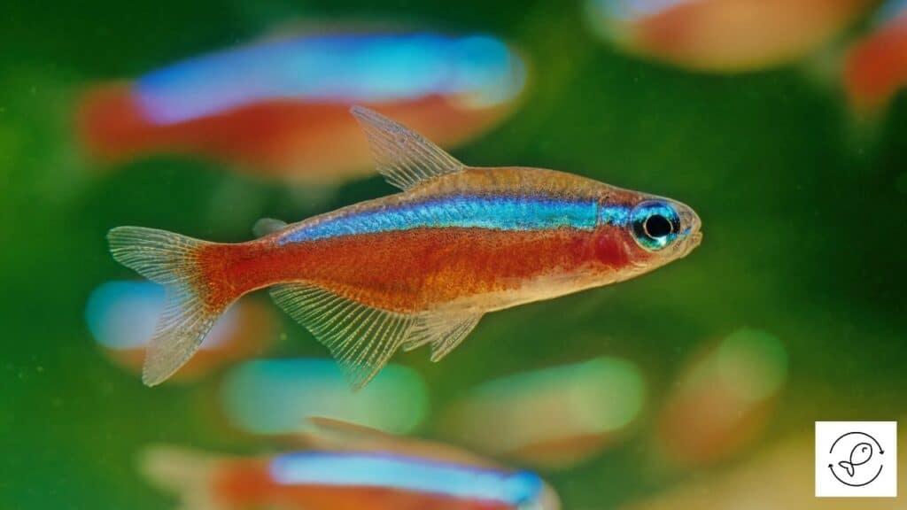 Image of cardinal tetras in an aquarium