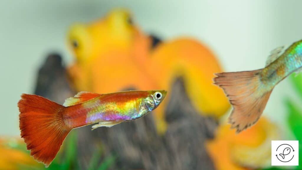 Image of a guppy about to become aggressive