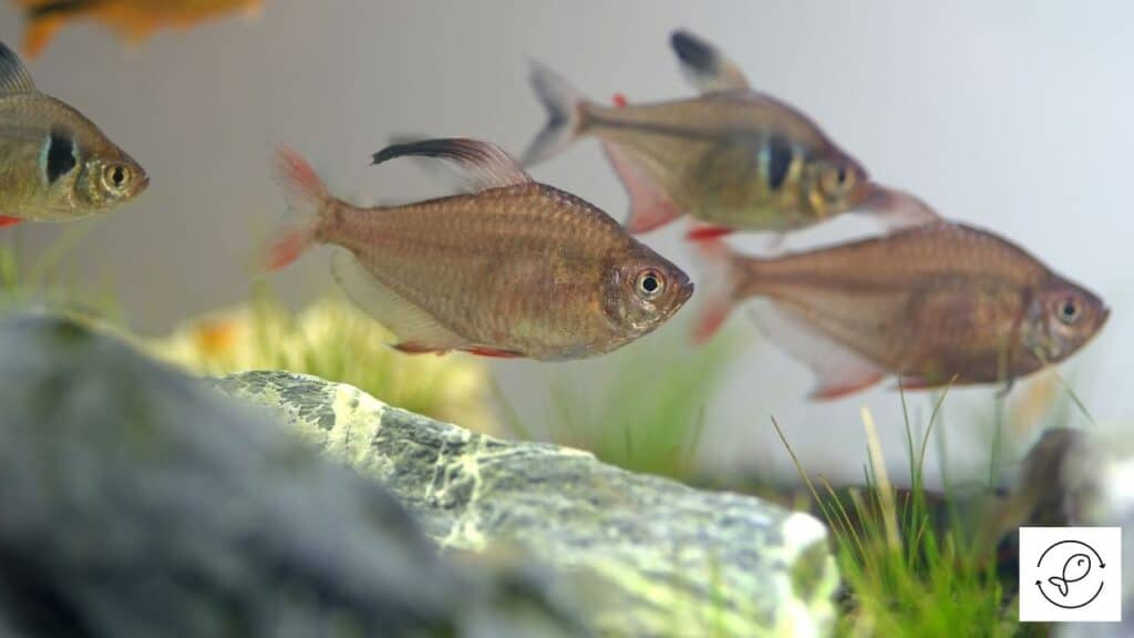Image of tetras searching for food