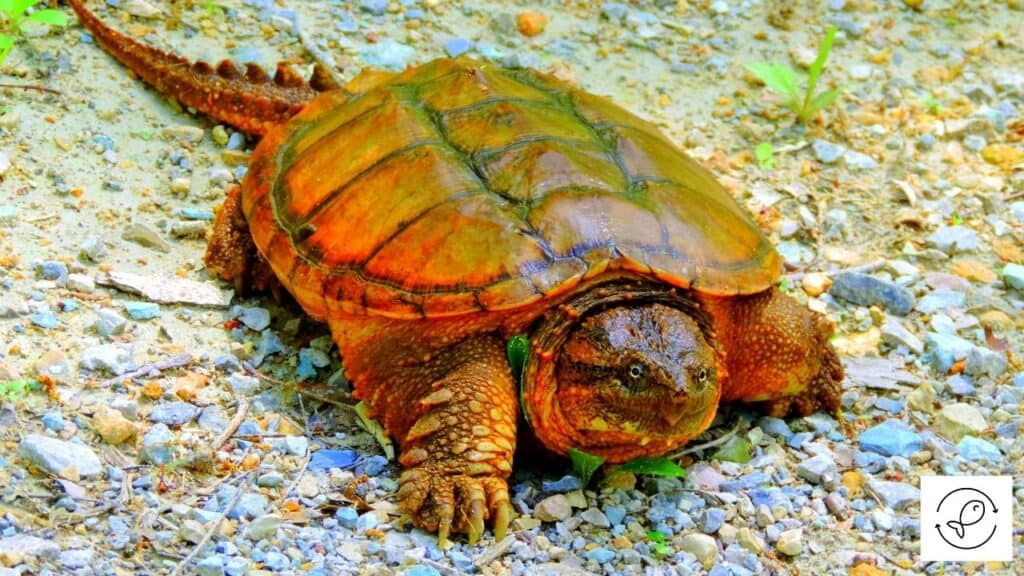 Image of an alligator snapping turtle
