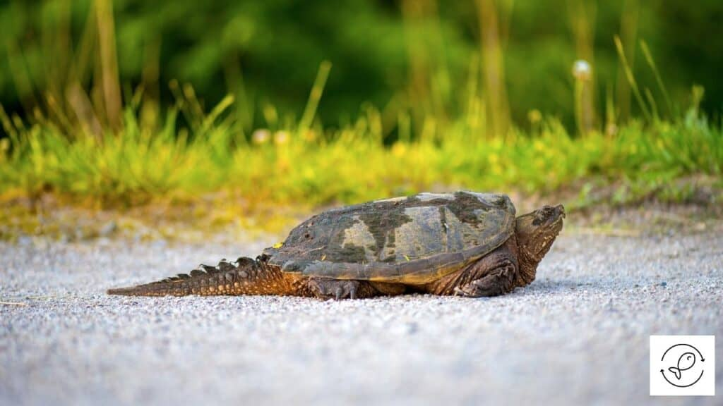 Image of a common snapping turtle