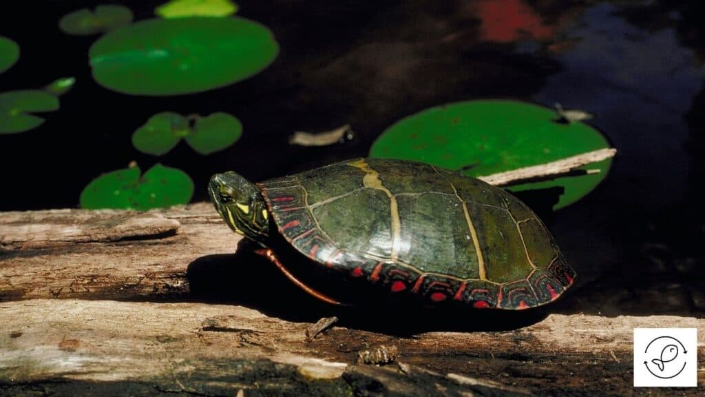 Image of a eastern painted turtle