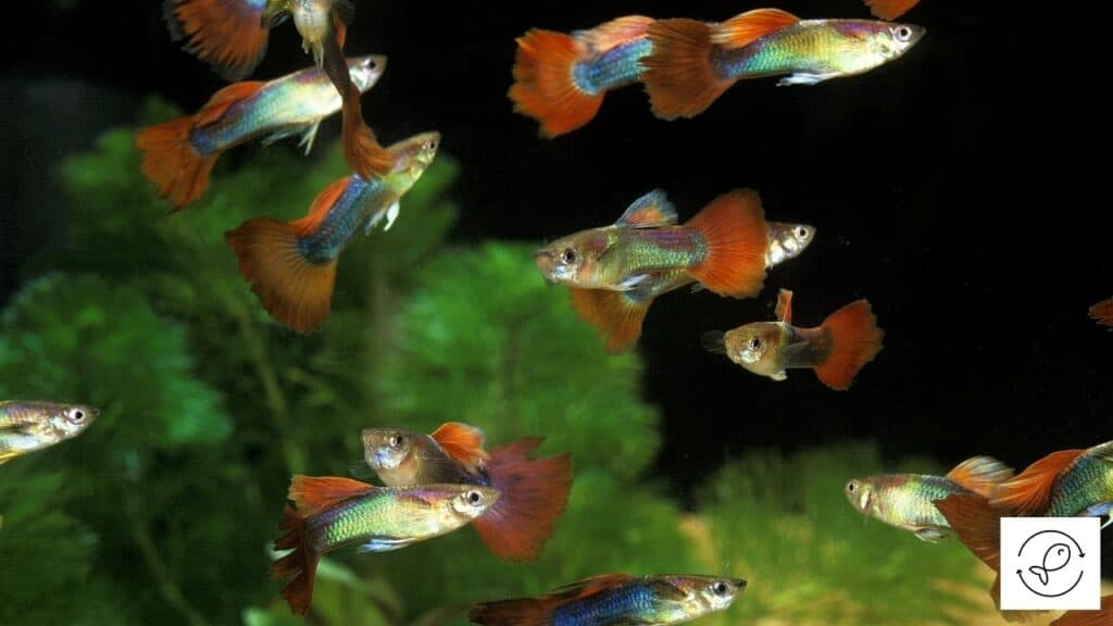 Image of guppies swimming freely