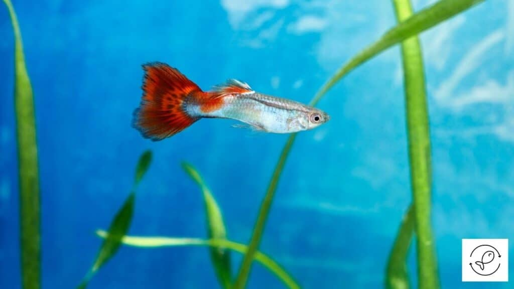 Image of a male guppy with long tail