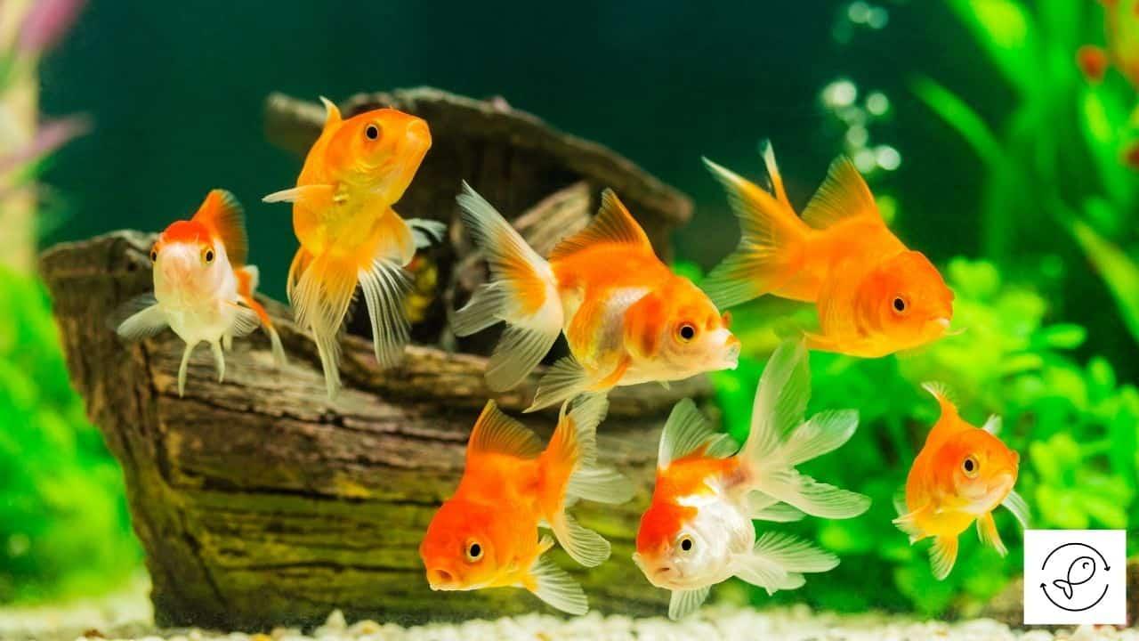 Image of multiple goldfish swimming in the aquarium