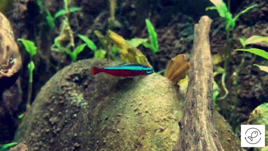Image of a neon tetra about to eat