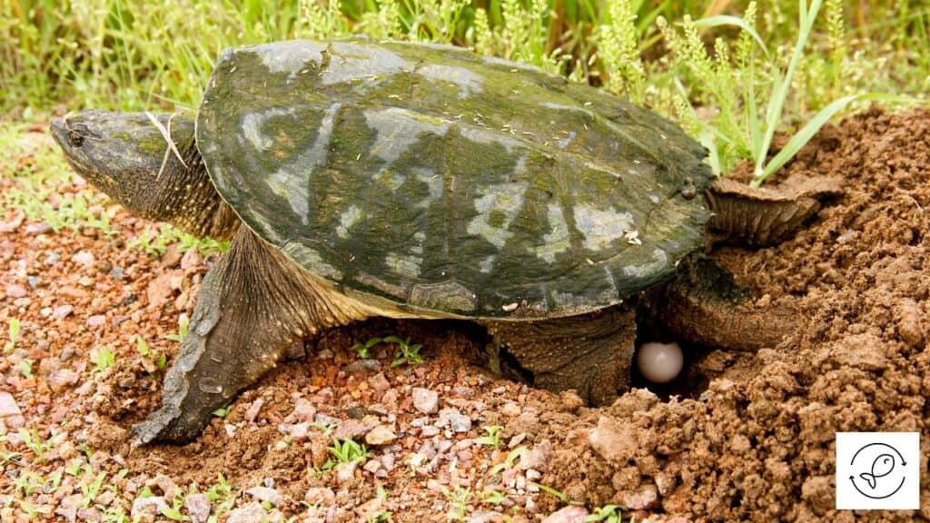 Image of a snapping turtle laying eggs