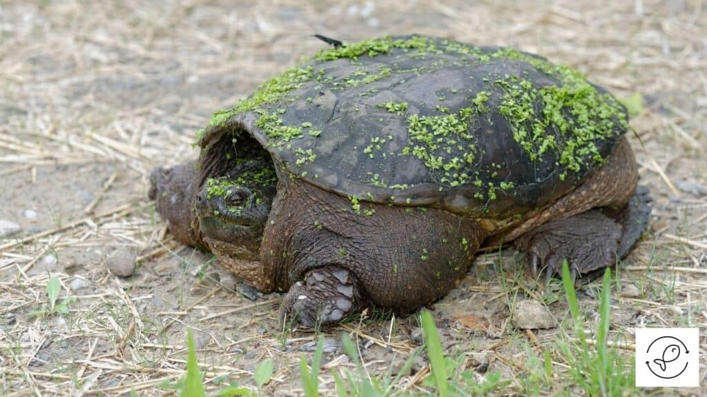 Image of a snapping turtle on land