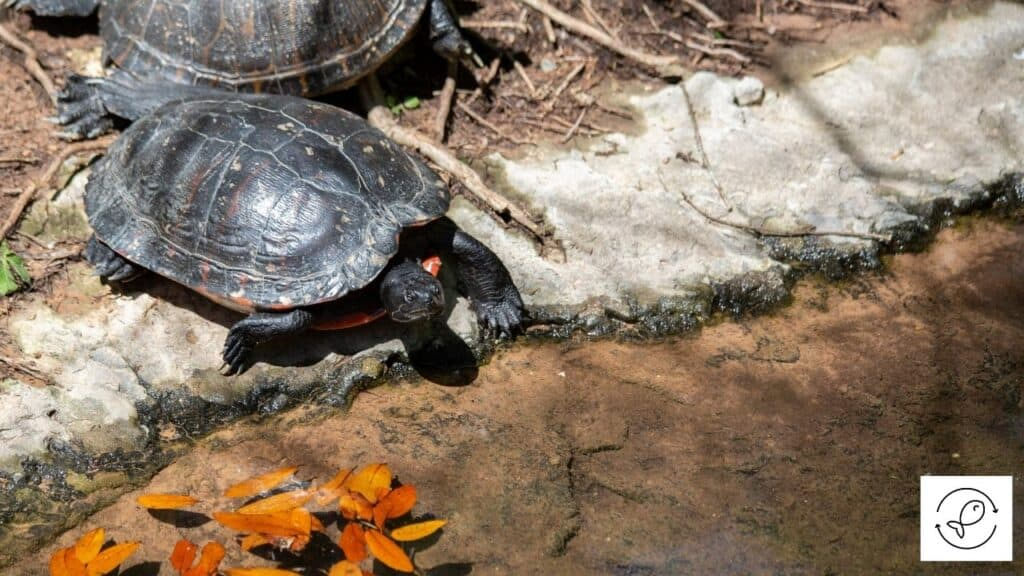 Image of a southern painted turtle