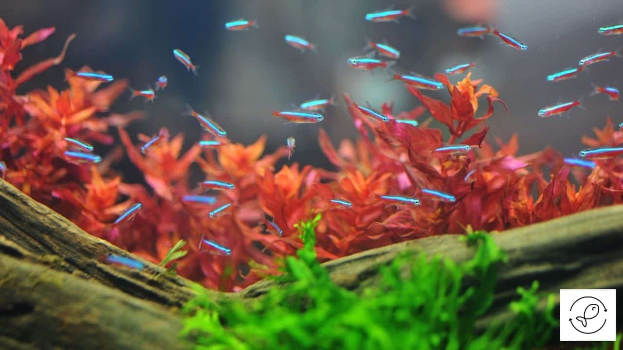 Image of tetras swimming together