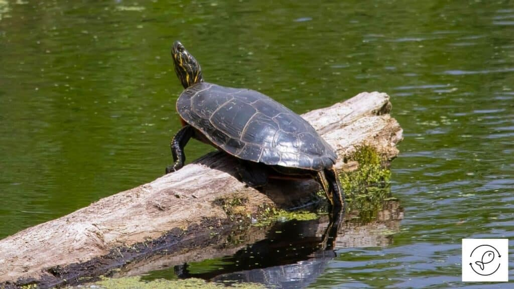 Image of a western painted turtle