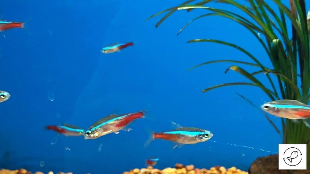 Image of neon tetras ready for breeding