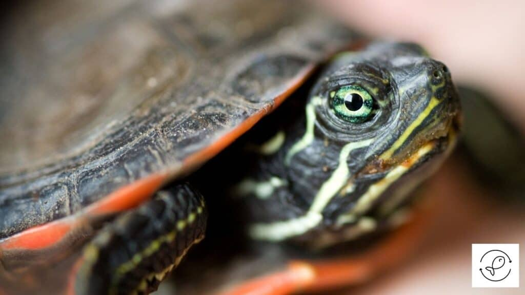 Image of a Red-Bellied Turtle