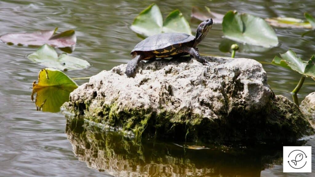 Image of a turtle basking in the sun