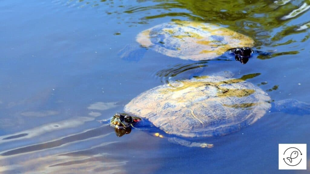 Image of turtles attracted to a pond