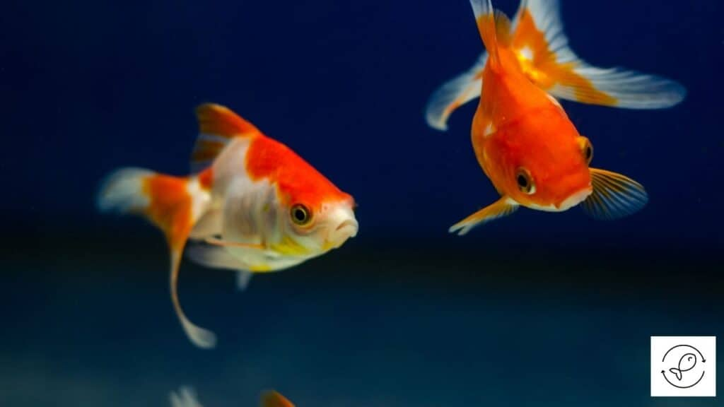 Image of goldfish chasing each other