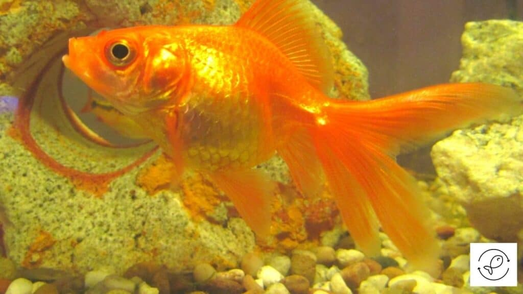 Image of a goldfish chewing