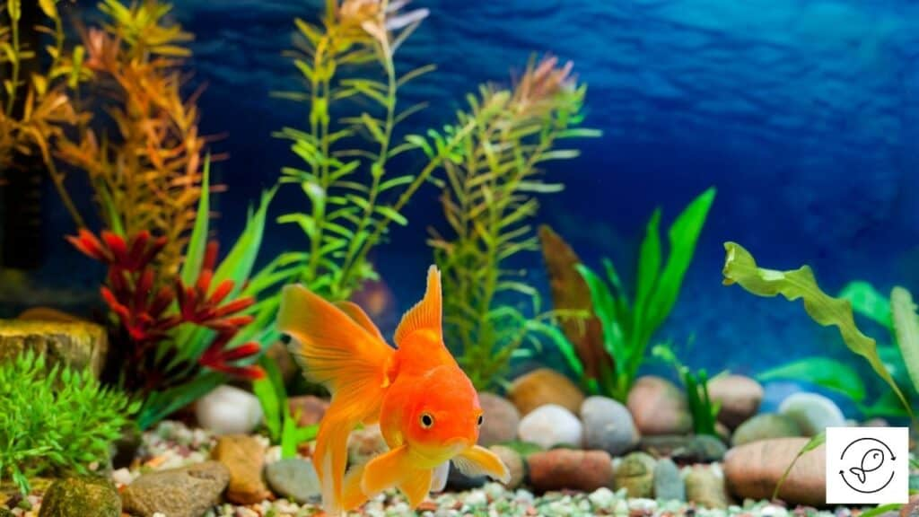 Image of a goldfish floating in water