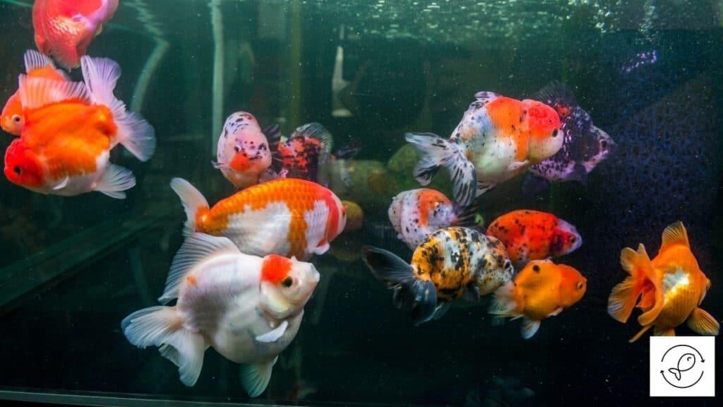 Image of goldfish huddling together