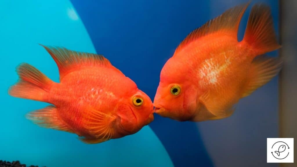 Image of goldfish kissing each other