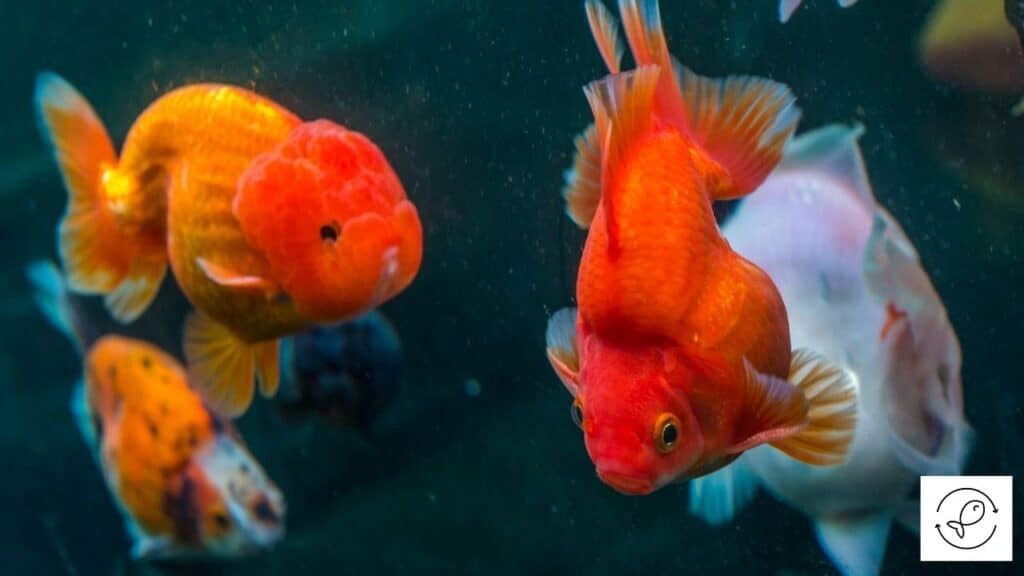 Image of goldfish swimming together