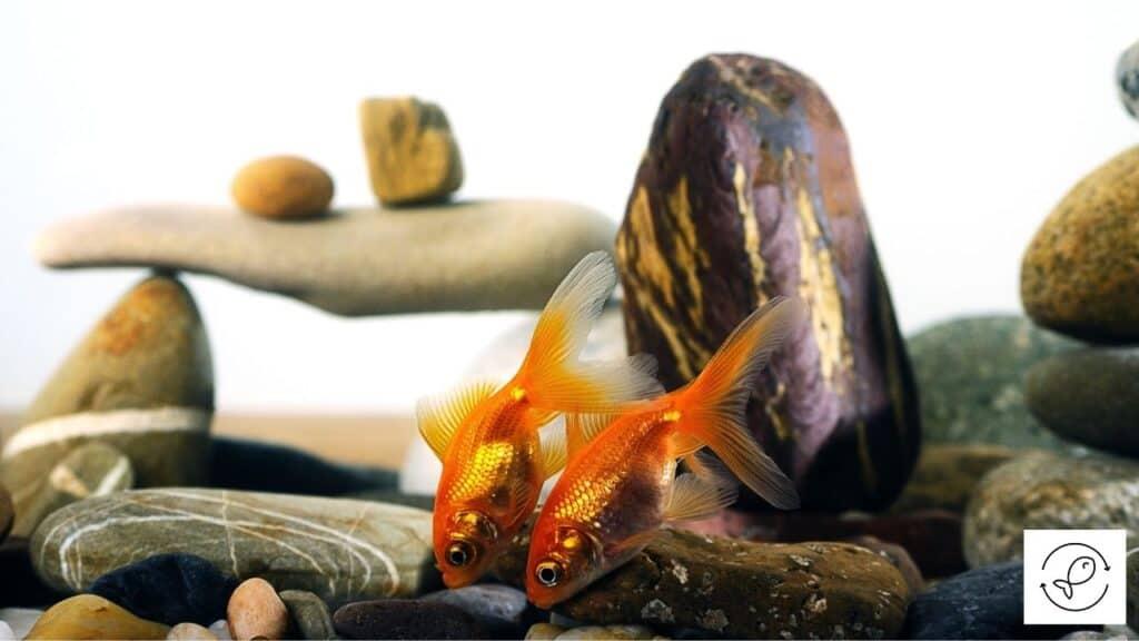 Image of goldfish trying to eat rocks