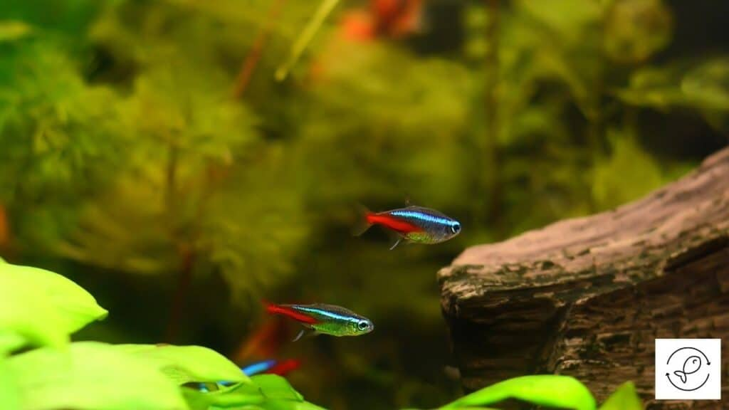 Image of tetras in a molly fish tank