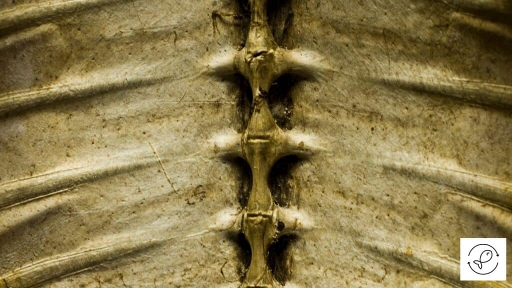 Image of the backbone of a turtle