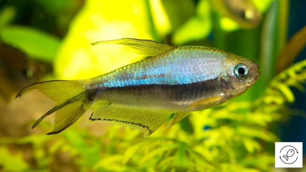 Image of a healthy tetra swimming alone