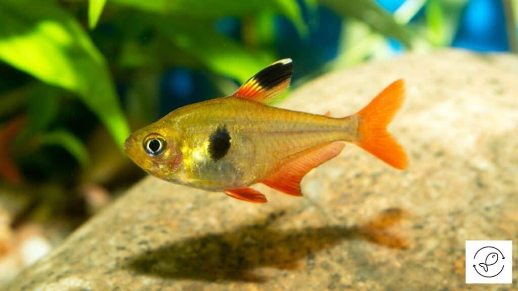 Image of a tetra at the bottom of the tank