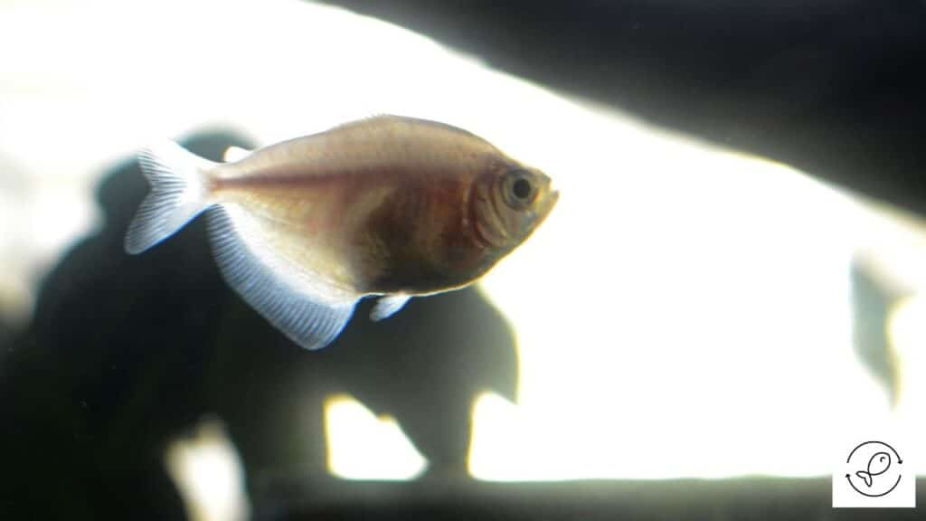 Image of a tetra swimming at the top of the tank